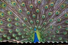 Pavo real Fotografía de archivo libre de regalías