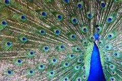 Pavo real Foto de archivo libre de regalías