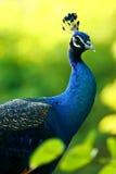 Pavo real azul Fotografía de archivo