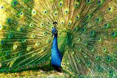 Pavo real azul Foto de archivo