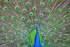 Pavo real azul Imagen de archivo libre de regalías