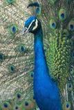 Pavo real azul Foto de archivo libre de regalías