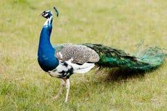 Pavo real azul en parque Foto de archivo