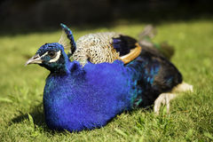Pavo real azul multicolor hermoso que descansa sobre una hierba verde Imágenes de archivo libres de regalías