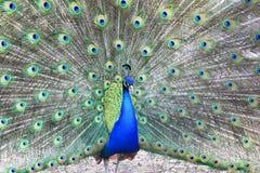 Pavo real azul orgulloso que muestra plumas hermosas Foto de archivo libre de regalías