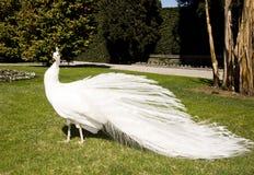 Pavo real blanco Fotografía de archivo