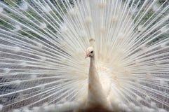 Pavo real blanco Fotografía de archivo libre de regalías