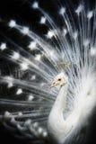 Pavo real blanco del albino Imagen de archivo libre de regalías