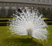 Pájaro de lujo animal del pavo real masculino blanco Imagen de archivo