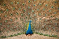 Pavo real Ciérrese para arriba del pavo real que muestra sus plumas hermosas Foto de archivo