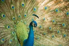 Pavo real Ciérrese para arriba del pavo real que muestra sus plumas hermosas Fotografía de archivo libre de regalías