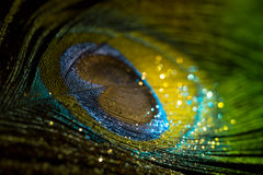 Pavo real colorido de la pluma Fotografía de archivo libre de regalías