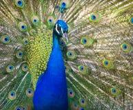 Pavo real colorido en pluma llena. Imagen de archivo