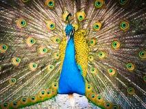 Pavo real colorido y su cola magnífica Imagen de archivo