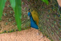 Pavo real con la cola colorida en parque zoológico Fotografía de archivo libre de regalías