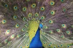 Pavo real con la cola hermosa Foto de archivo libre de regalías