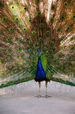 Pavo real con las plumas abiertas Fotos de archivo libres de regalías