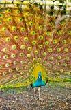Pavo real con las plumas abiertas Foto de archivo