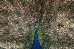 Pavo real con las plumas coloridas Fotos de archivo
