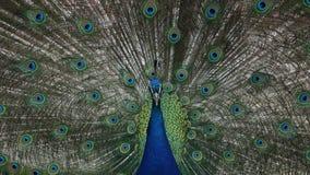 Pavo real con las plumas coloridas Foto de archivo libre de regalías