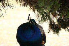 Pavo real con las plumas coloridas Fotografía de archivo