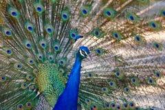 Pavo real con las plumas coloridas de la extensión Fondo animal Fotos de archivo libres de regalías