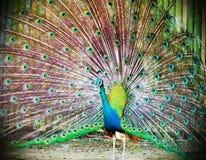 pavo real con las plumas hacia fuera Imagen de archivo