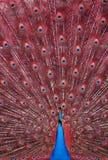 Pavo real con las plumas rojas Fotos de archivo libres de regalías