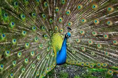 Pavo real con sus plumas avivadas Imagenes de archivo
