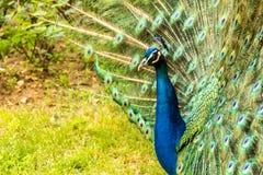 Pavo real de Colorfull Foto de archivo libre de regalías