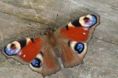 Pavo real de la mariposa Fotografía de archivo