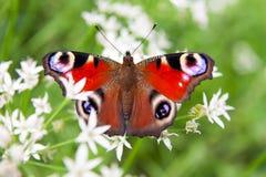 Pavo real de la mariposa Fotos de archivo libres de regalías