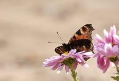 Pavo real de la mariposa Foto de archivo