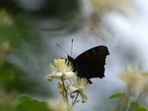 Pavo real de la mariposa imagenes de archivo