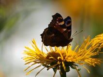 Pavo real de la mariposa imagen de archivo libre de regalías