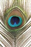 Pavo real de la pluma Imagen de archivo libre de regalías