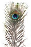 Pavo real de la pluma Imágenes de archivo libres de regalías
