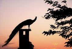 Pavo real de la puesta del sol Imágenes de archivo libres de regalías
