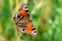 Pavo real del día de la mariposa Foto de archivo