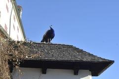 Pavo real del pájaro Castillo en Innsbruck austria Alpes, diciembre de 2013 Imágenes de archivo libres de regalías