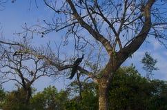 Pavo real en árbol Imágenes de archivo libres de regalías