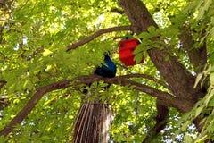 Pavo real en árbol en parque natural Foto de archivo libre de regalías