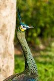 Pavo real en el chiangmai Tailandia del parque zoológico del chiangmai Fotos de archivo