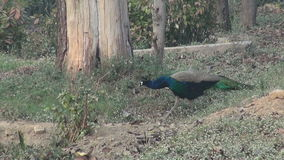 Pavo real en el parque de Agra, la India almacen de metraje de vídeo