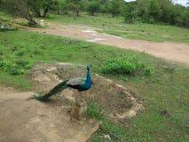 Pavo real en el parque nacional de Yala imagen de archivo libre de regalías
