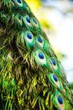 Pavo real en el parque zoológico del chiangmai, chiangmai Tailandia Imagen de archivo libre de regalías