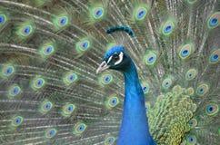 Pavo real en el primero plano, manera azul Imagen de archivo libre de regalías