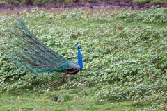 Pavo real en hábitat Foto de archivo libre de regalías