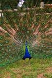 Pavo real en jardín Imagenes de archivo