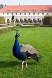 Pavo real en jardines del palacio, Praga Imágenes de archivo libres de regalías